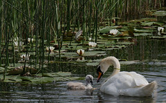 Swan and cygnet (yvonnepay615) Tags: panasonic lumix gh4 nature swan cygnet nationaltrust nt wickenfen cambridgeshire eastanglia uk coth coth5