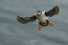 Atlantic Puffin (Ian howells wildlife photography) Tags: ianhowells ianhowellswildlifephotography nature naturephotography nationalgeographic unitedkingdom wildlife wales wildlifephotography wild wildbird wildbirds puffin springwatch skomer inflight
