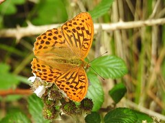 Silver-washed Fritillary Butterfly (Argynnis paphia) (Brian Carruthers-Dublin-Eire) Tags: silverwashed fritillary butterfly argynnis paphia silverwashedfritillary argynnispaphia silverwashedfritillarybutterfly fritileán geal tabac despagne kaisermantel fritileángeal tabacdespagne animalia arthropoda insecta lepidoptera nymphalidae apaphia macro insect ireland nature wildlife
