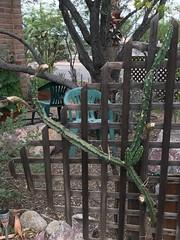 Six Night Blooming Cereus Buds Begin to Open At 4 PM (Chic Bee) Tags: bokeh dof southwesternusa americansouthwest arizona tucson sonorandesert alhambra 4pm beginningtoopen flowerbuds nightbloomingcereus blooming starting opening cactus bud trellis