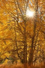 Dear Autumn (Ramen Saha) Tags: autumnleaves autumncolors easternsierras junelakearea sierranevada california ramensaha sunburst leaves aspen populustremuloides americanaspen autumn