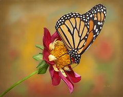 Dahlia With Monarch (ChristopherLeeHewitt) Tags: monarch flower dahlia monarchbutterfly butterfly textured red color nature naturallight