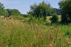 1487-08L (Lozarithm) Tags: lyneham wilts wiltsberks canals pentax zoom k1 28105 hdpdfa28105mmf3556eddcwr wildflowers flora