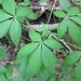 Aesculus glabra (Ohio buckeye) (Roaring Run, Warren County, Ohio, USA) 1