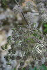fiori di montagna (Luciana.Luciana) Tags: fiori fioridimontagna bianco
