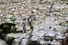 Humboldt penguins Islas Ballestas Paracas Peru (roli_b) Tags: nature wild animal pinguinos ballestas islands islandballestas reserva peru paracas islasballestas humboldti spheniscus pinguin penguins penguin humboldt