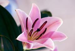Taquineries proverbiales (Pensive glance) Tags: lily lilium lys flurdelys fleur flower plant plante