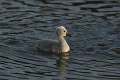 Little swan (markusbeyer1) Tags: canon beautiful bird swan cygnusolor schwan höckerschwan junges