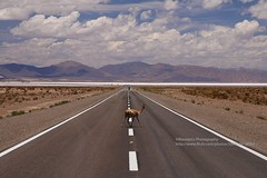 Salinas Grandes, one guanaco crossing (blauepics) Tags: argentina argentinien jujuy province provinz provincia nord north andes anden landscape landschaft berge mountains valley tal colours farben rocks felsen clouds wolken salinas grandes aussichtspunkt viewpoint road strasse roadshot symmetries symmetrien guanaco amimal tier vanishing point