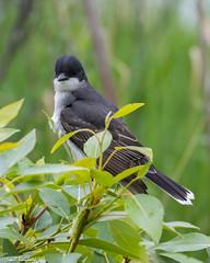 Eastern Kingbird (Lyall Bouchard) Tags: alberta bird calgary easternkingbird inglewoodbirdsanctuary canada ca