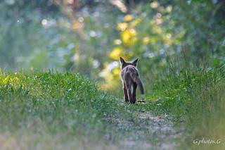 Longue vie à ce renardeau ( 2 )