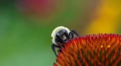 Bee on a Purple Cone Flower (TomIrwinDigital) Tags: bee