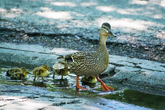 Duck with ducklings on our backyard and street. (Valery_RW) Tags: winnipeg manitoba canada street bay duck downtown