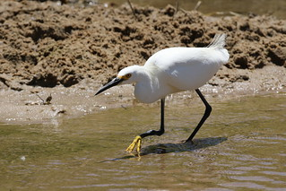 Snowy Egret Ready Posed To Catch Lunch