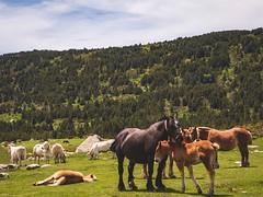 Petite série sur les chevaux en liberté au Lac des Bouillouses. 😉 #horses #mountains #nature #foal #landscape #gx80 #panasonic #lightroom (Lexlutin66) Tags: horses mountains nature foal landscape gx80 panasonic lightroom
