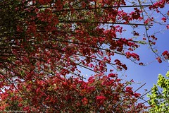 Color Burst (Thad Zajdowicz) Tags: tree leaves red blue green color sky ef50mmf12lusm colour nature outdoor outside zajdowicz thegettycenter gettyinspired losangeles california summer burst splash availablelight lightroom canon eos 5d3 5dmarkiii dslr digital usa beauty abstract flora plant