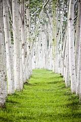 Forêt nature1 (CISSÉO) Tags: forêt arbres bois nature blanc bouleau