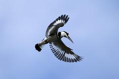 Ceryle rudis (Pied Kingfisher) - Entebbe Uganda (Nick Dean1) Tags: animalia chordata aves piedkingfisher cerylerudis uganda entebbe lakevictoria africa thewonderfulworldofbirds birdperfect birdwatcher