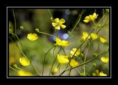 Buttercup Bokeh (Audrey A Jackson) Tags: canon60d botanicalgardens birmingham buttercup flower bokeh yellow petals nature