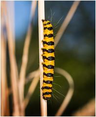 Burnet Moth caterpillar (Pitheadgear) Tags: burnetmoth nature macro macrophotography leicadgmacroelmarit45mm microfourthirds tyldesley lancashire england naturalhistory closeups lepidoptera lumixgx8 caterpillar caterpillars