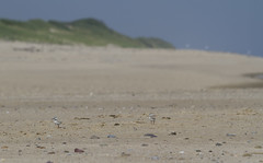 Twin Plovers (brucetopher) Tags: twin twins flickrfriday beach bird piping plover pipingplover shore shorebird sandpiper sand seacoast coast coastal birdwatching baby chick hatchling dune dunes animal nationalpark park outside nature natural scenery outdoor beauty beautiful sea ocean water