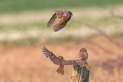 My Project2018 :  Little Owls (eric-d at gmx.net) Tags: steinkauz littleowl athenenoctua strigidae ngc eric eule owl