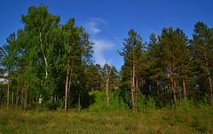 Edge of the forest I (МирославСтаменов) Tags: russia togliatti pinery edge cirrus forest birch