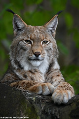Eurasian Lynx - Zoo Duisburg (Mandenno photography) Tags: animal animals zoo zooduisburg dierenpark dierentuin dieren duitsland duisburg eurasian european lynx luchs ngc nederland netherlands nature bigcat big cat cats