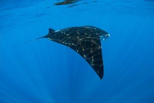 Giant oceanic manta ray - Raie manta océanique (Manta birostris)