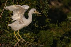 Little Blue Heron (juvenile) (Kevin Fox D500) Tags: littleblueheron juvenile heron oceancitynewjersey oceancity nature nikond500 nikon newjersey welcomecenter wildlife bird birding birdwatching birds