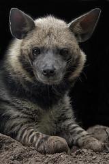portraiture (ucumari photography) Tags: ucumariphotography stripedhyena hyaenahyaena animal mammal hyena naples florida fl zoo may 2018 dsc9394 hera specanimal specanimalphotooftheday