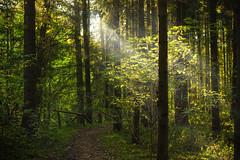 Morning Sun (JuliSonne) Tags: forest morning sun morningsun green nature calm light shadow trees walk