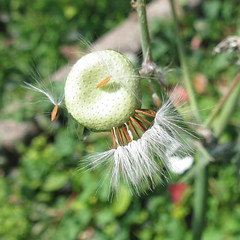 Mini Dandelion Clocks (Redcognito) Tags: dandelionclocks dandelionclock weeds dandelions minidandelions seeds seedheads biwp15072018