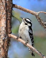 Pic mineur (Marie-Helene Abitibi) Tags: oiseau abitibi valdor côtede100pieds loft pic picbois picmineur mariehélène mariehelene