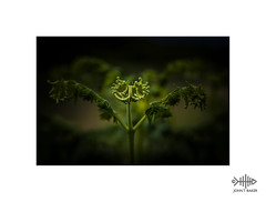"""""""In my arms"""" (silver/halide) Tags: johnbaker teddythomson inmyarms fern woodland green"""