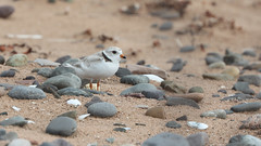 Pluvier siffleur_070A7001 (d.jauvin) Tags: pluvier québec pluviersiffleur pipingplover charadriusmelodus