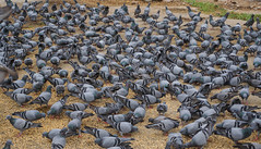 Flock of pigeons feeding on the town square (phuong.sg@gmail.com) Tags: animals background beauty birds causeway cement center closeup cobblestone concept daylight domestic dove eat feathers feed feeding flock fly food footpath gray grey ground group land looking many motion nature outdoors park pathway paved pavement peace pigeons relaxation resting scene sidewalk square stone street town urban wild wilderness wings zoo