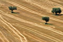 tre (luporosso) Tags: natura nature naturaleza naturalmente nikon nikonitalia nikond500 paglia alberi trees scorcio scorci country countryside marche italia italy straw estate summer