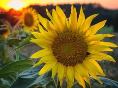 Sunflower at sunset (TM Photography Vision) Tags: aquitaine bordeaux dordogne basel riehen schweiz monpon st mear de gurcon frankreich südwest sw olympus em1 m1