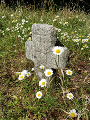 Tiny old grave (Christine Schmitt) Tags: 52in2018 tinternabbey grave graveyard daisies ancient wexford ireland