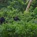 Gorillas / Gorilles