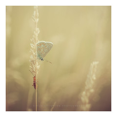 Time to Rest (David Haughton) Tags: commonblue butterfly grass summer macro proxi closeup helios44m