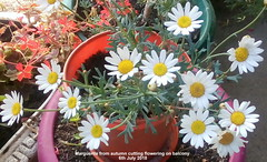 Marguerite from autumn cutting flowering on balcony 6th July 2018 (D@viD_2.011) Tags: marguerite from autumn cutting flowering balcony 6th july 2018