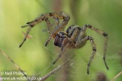 Labyrinth spider-4 (Neil Phillips) Tags: agelenalabyrinthica agelenidae arachnida araneae labyrinthspider arachnid arthropod arthropoda bug invertebrate spider