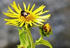 6Q3A5660 (www.ilkkajukarainen.fi) Tags: flower kukka happy life visit visiting helsinki suomi finland finlande summer 2018 nature luonto mehiläinen bee