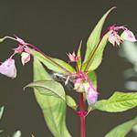Himalayan balsam (Impatiens glandulifera) - Culm River, Cullompton, Devon - 13 July 2018 thumbnail