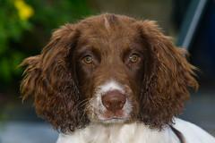 Looks quite calm and collected here ! (TrevKerr) Tags: dog dogportrait gundog puppy pup spaniel springerspaniel englishspringerspaniel
