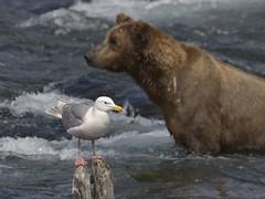 Gull (mariya_ka) Tags: alaska d600 nature nikond600 northern us travels bear gull water sigmaaf50500mmf4563