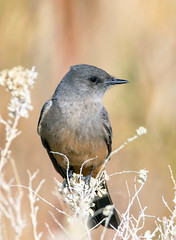 Say's Pheope (Ed Sivon) Tags: america canon nature lasvegas wildlife wild western southwest desert clarkcounty vegas flickr bird henderson nevada