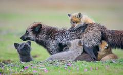 A Mother's Job is Never Done (~ Bob ~) Tags: pacificnorthwest mother wildlife fox nikon foxkit cute mammal d500 kit nature feeding feisol redfox washingtonstate babyanimals
